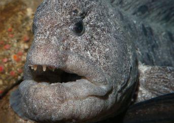 adult wolf eel