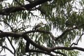 A kookaburra in an old gum tree!
