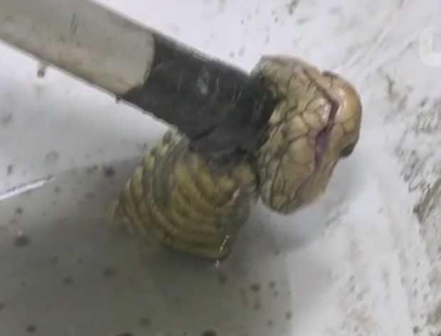 É o 2º caso desse tipo relatado na Tailândia em cerca de duas semanas. Na província de Chachoengsao, homem levou mordida no pênis ao usar privada.