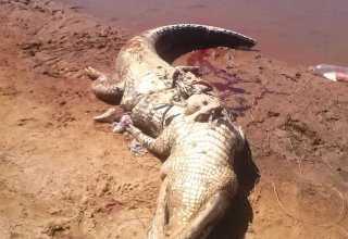 Moradores matam jacaré e acreditam que restos mortais dentro do animal sejam de homem desaparecido / Divulgação