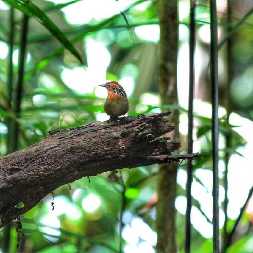 Turismo de Bird Watching no Amazonas / Foto : Divulgação