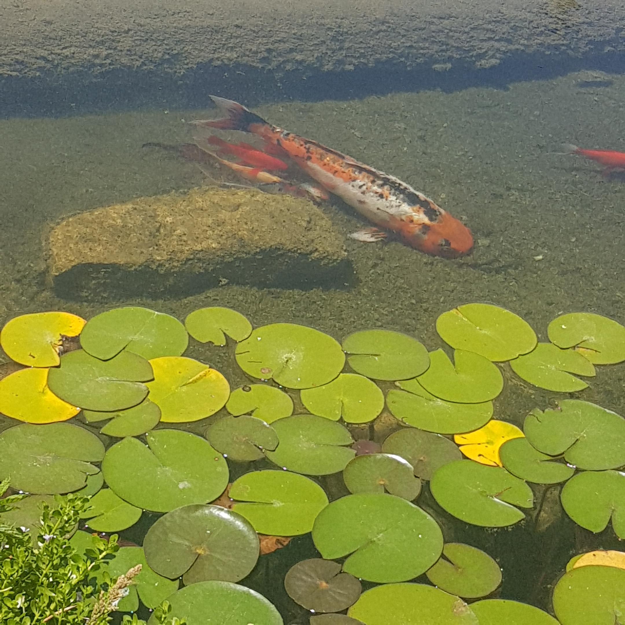דג זהב - צילום נועם קוריס