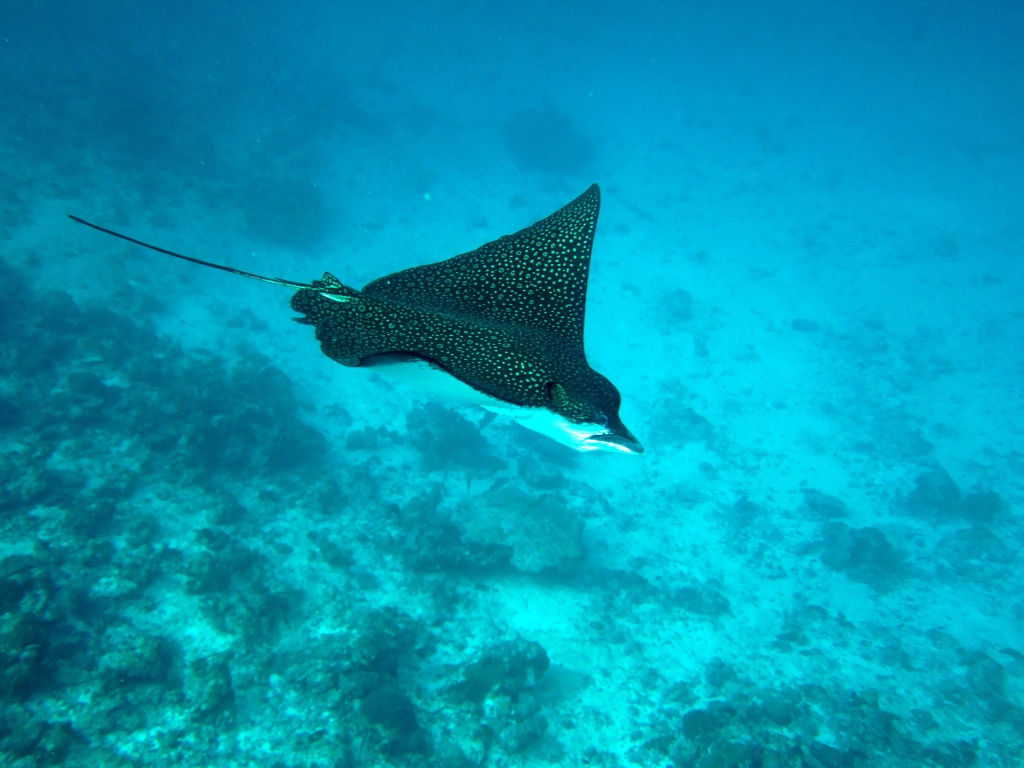 Spotted Eagleray
