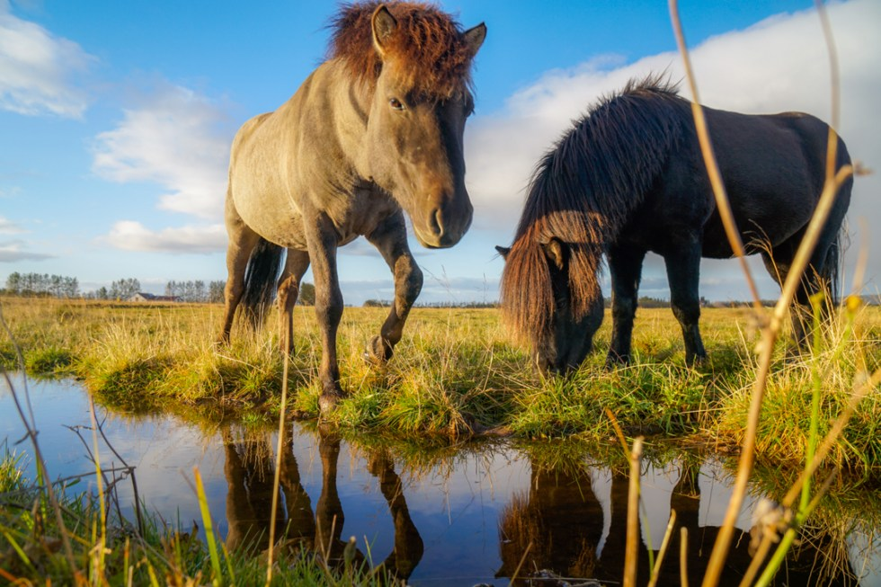 Riding an Icelandic Horse is one of the best things to do in Iceland with Kids