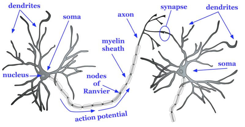 detailed neuron diagram nissan tiida radio wiring neurons noba basic structure of a typical consists an axon which is