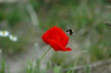 Zielgenauer Anflug auf die Blüte