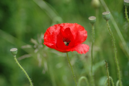 In der Blüte versteckt sich eine Hummel bei der Arbeit.