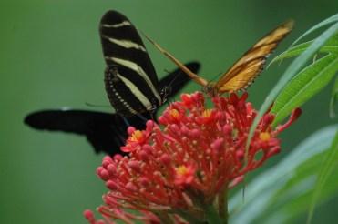 Gleich drei Schmetterlinge haben sich auf dieser Blüte niedergelassen.