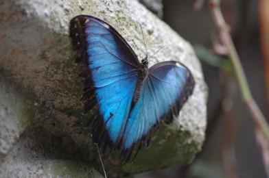 Dieser Schmetterling hängt beinahe kopfüber am Stein