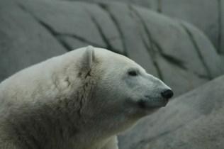 Der Eisbär sieht...nun ja, nicht besonders gut gelaunt aus.
