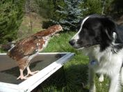 Some dogs do well around chickens. They are called Livestock Guardian Dogs.