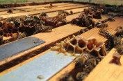 Propolis and bees