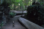 shasta redwood path