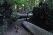 shasta redwood path