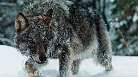 Трое человек стали жертвами полярного волка в Норильске