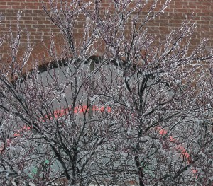 frozen-redbuds