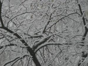 snowy-redbuds