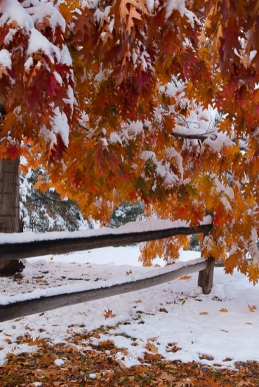 Red Oak Fall Snow