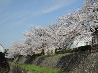 二ヶ領用水の桜 (2).JPG