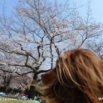 代々木公園-桜(3/27現在)