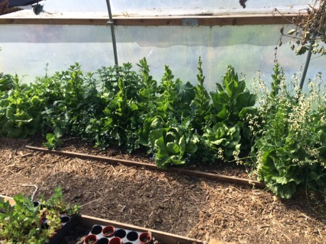 bolting lettuce in the polytunnel