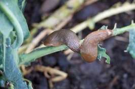 Happy slugs eating one of my plants