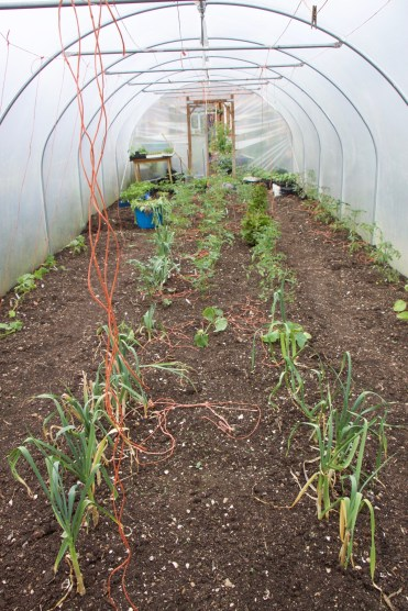 the polytunnel from the other end, melons will go in with this garlic