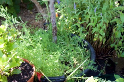 the chamomile will flower soon