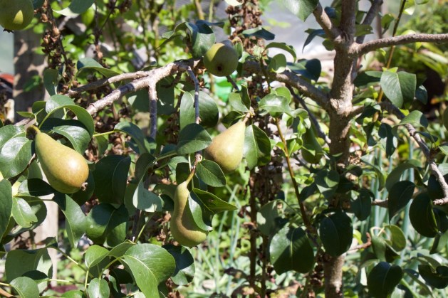 A pear tree - this one grows near the polytunnel