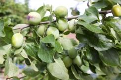 Plums on my very old plum tree