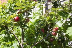 Apples and pears in pots