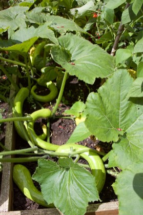 Tromboncino squash spreading across the adjacent bed