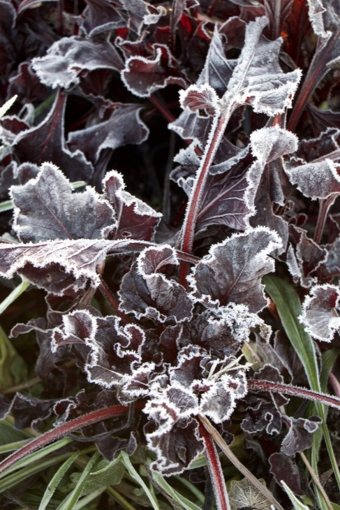 Frosted beetroot 'Bulls Blood' grown for the leaves, just outside the polytunnel