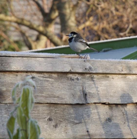 Winter bird looking for food