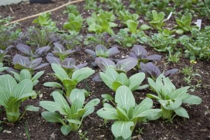 Pak choi, spinach, lettuce