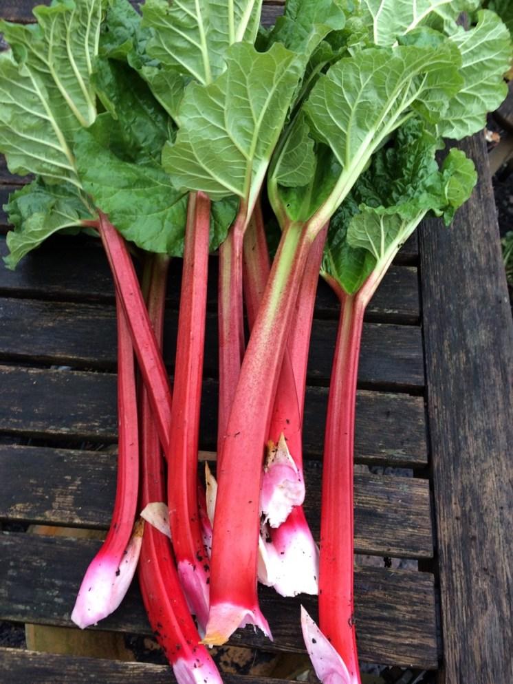 Timperley early rhubarb