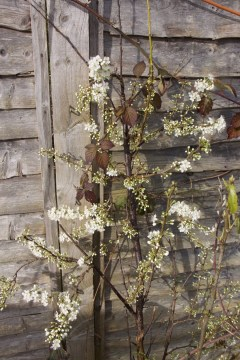 An early plum tree full of blossom