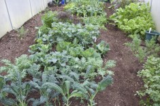 brassicas including kale, cabbage and calabrese