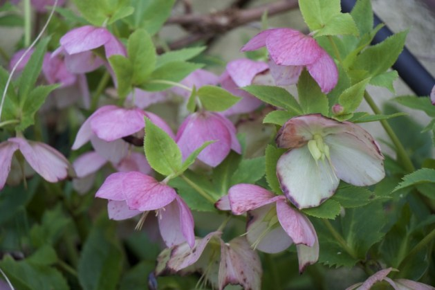 hellebores have been flowering for weeks now
