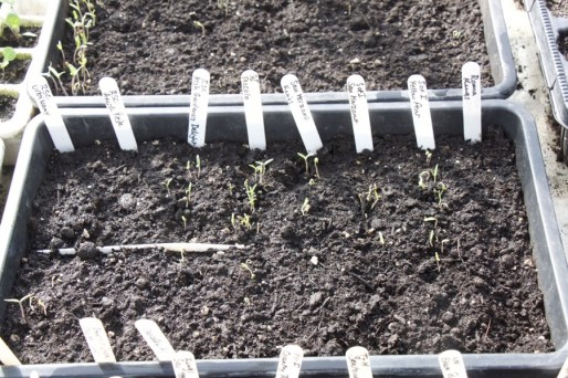 tomatoes seedlings emerging on April 1st, sown 29 March
