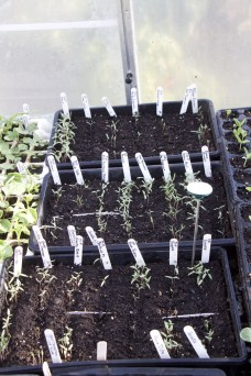 Tomato seedlings, April 7th