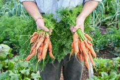 Charles Dowding's experiembt, carrots from dug and undug soil