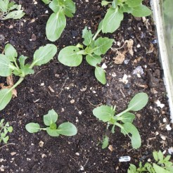 planting the pak choi in gaps