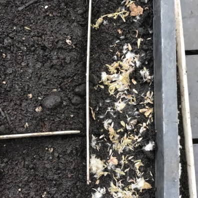 sown into a seed tray