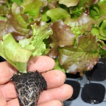 lettuce module tray