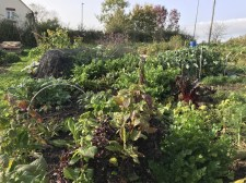 The allotment is still really full - winter brassicas under the cloches include brussel sprouts and cabbages