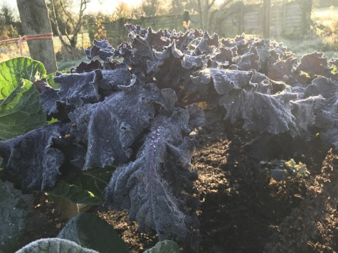 Frosted Flowersprouts in Charles' garden