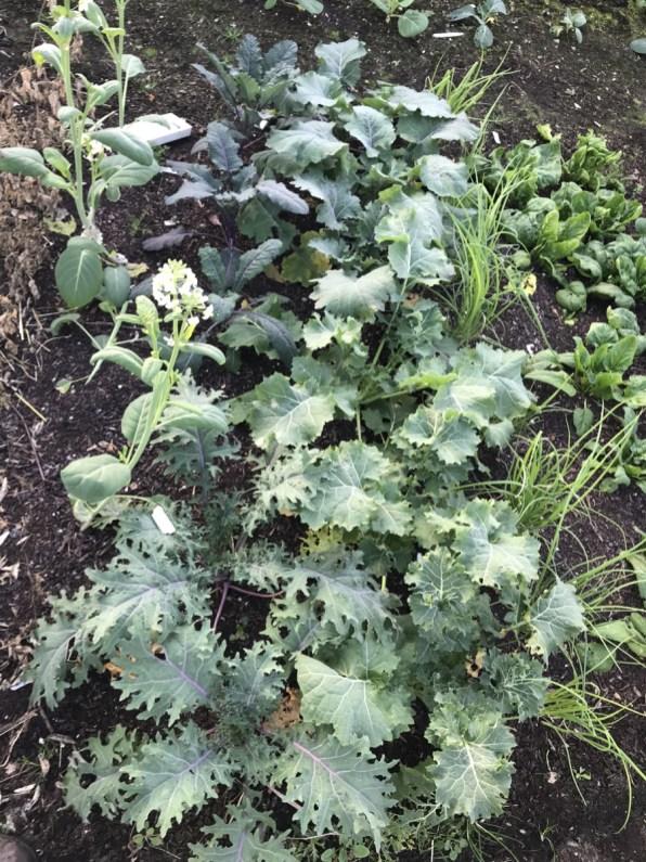 kales and sprouting garlic