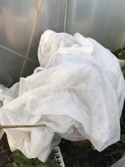 fleece protecting plants in the polytunnel