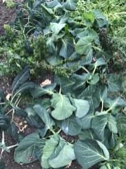 frozen spring cabbage